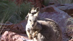 Black-footed Rock Wallaby enjoying the first morning sun 3 - stock footage