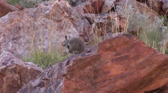 Black-footed Rock Wallaby sit on red rock looking around 1 Stock Footage