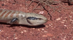 Blue-tonged Skink walking on red earth and smelling with tongue 2 - stock footage