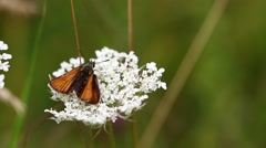 Small Skipper ( Thymelicus sylvestris) Butterfly on White Yarrow Stock Footage