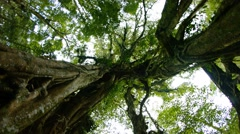Rotating, Skyward View of Gnarled Trees in a Forest Wilderness, with Sound Stock Footage