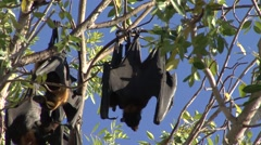Brown Fruit Bat female with baby on stomach  1 Stock Footage