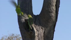 Budgerigar coming our of nesting hole 2 Stock Footage