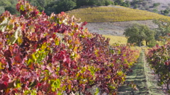 Autumn grape vines and oak tree panning right to left Stock Footage