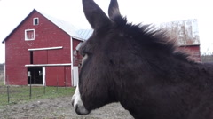 Donkey with red barn Stock Footage