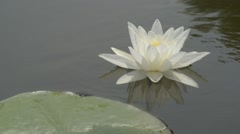Stock Video Footage of Waterlily in a lake