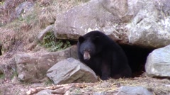 Black Bear near its den Stock Footage
