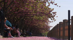 Roosevelt island famous spring blossom sakura trees bay 4k new york usa Stock Footage