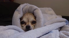Small Chihuahua Slowly Falls Asleep in a Warm Fluffy Blanket Arkistovideo