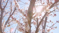 Pink Orchard Blossoms On Sunny Blue Sky Day Spring Season Stock Footage