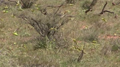 Budgerigar flock feeding on ground 1 Stock Footage