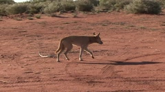 Dingo walking in the outback looking Stock Footage