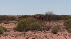Dromedar walking among sanddunes in the outback 2 Stock Footage