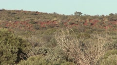 Dromedar walking among sanddunes in the outback 1 Stock Footage