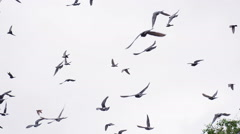 Flock of Birds Above the Trees HD Pro - stock footage