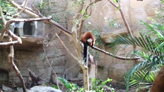 Beautiful red monkey climbs on branch in aviary at zoo Stock Footage
