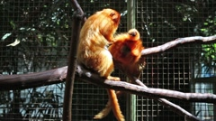 Two Golden Lion Tamarin sit on branch in aviary at zoo Stock Footage