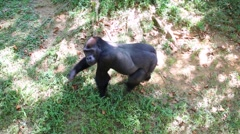 Black gorilla walk on grass in green aviary at zoo Stock Footage