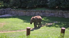 Beautiful elephant walks on grass in aviary at zoo Stock Footage