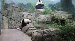 Two beautiful pandas eat bamboo in indoor aviary at zoo - stock footage