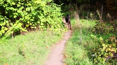Two young healthy Dobermans running in summer forest Stock Footage