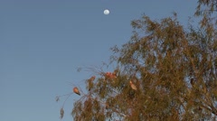Galah flock perched in tree in outback under the moon 1 Stock Footage