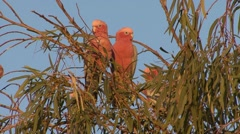 Galah flock perched in tree in outback Stock Footage