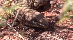 Gould's Goanna hide in the bush in outback Stock Footage