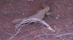 Gould's Goanna walks on red earth in outback Stock Footage