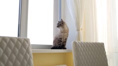 Cat with blue eyes sits on windowsill in apartment Stock Footage