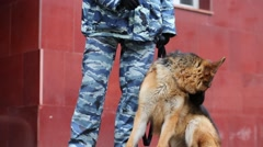 Legs of policeman in camouflage with shepherd outdoor Stock Footage