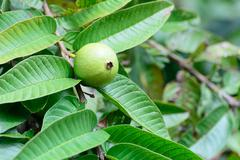 Apple Guava or Common Guava, Psidium Guajava, Goiaba or Guayaba. - stock photo