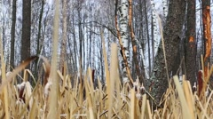 Woodpecker on tree in forest and dried reeds in autumn Stock Footage