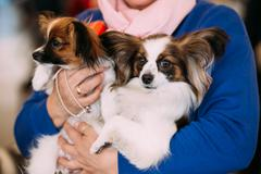 The Papillon dog also called the Continental Toy Spaniel, is a b - stock photo