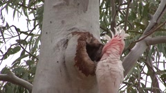 Stock Video Footage of Major Mitchell's Cockatoo look out from nesting hole and male sits outside 1