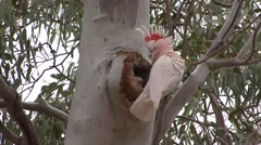 Major Mitchell's Cockatoo male look in nesting hole Stock Footage