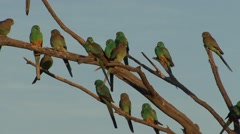 Mulga Parrot flock perched on branch in the late afternoon 1 - stock footage