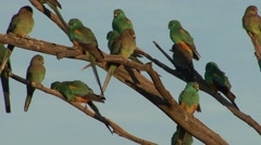 Mulga Parrot flock perched on branch in the late afternoon 3 Stock Footage