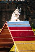 Husky in Dog agility, dog sport - stock photo