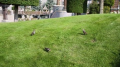 Three birds are on green grass in park at sunny day Stock Footage