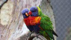 Rainbow Lorikeet Couple Stock Footage