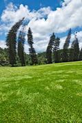 Crooked Cook Pines (Araucaria columnaris) in Peradeniya Botanical Gardens. Ka - stock photo