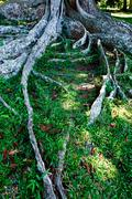 Stock Photo of Tropical tree roots. Sri Lanka