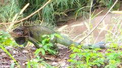 Green Iguana Stock Footage