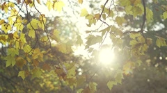 Tree branch with autumn leaves illuminated by spectacular sunset Stock Footage