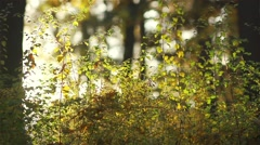 Small butterflies flying in slow motion around the bush with autumn leaves Stock Footage