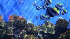 Featherfin Coachman (Heniochus acuminatus), is a tropical fishes Stock Footage