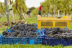 Grape Pickers at work harvesting red grapes. Heaped crates ready for collection. Stock Photos