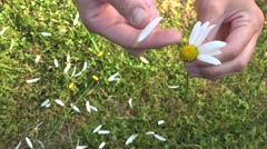 woman hands tear off daisy flower petals. He loves me or not. 4K - stock footage