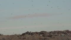 Flock of gulls over landfill garbage dump Stock Footage